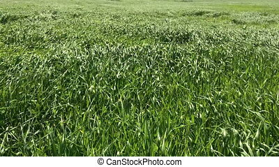 The beautiful bright green grass waves from a wind