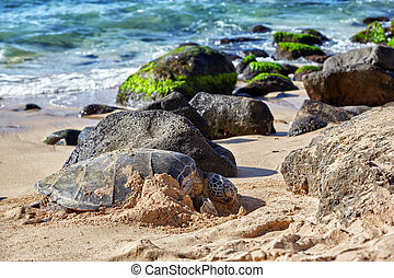 giant green sea turtle at Laniakea beach, Hawaii - Beached...