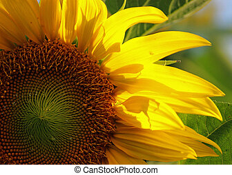 Backlit Sunflower - Fall sun backlights yellow petals of...