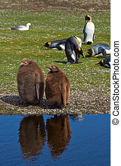 King Penguin Chicks - King Penguin chicks Aptenodytes...