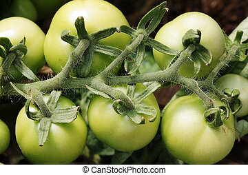 Bunch of tomatoes - Bunch of unripe tomatoes on the branch
