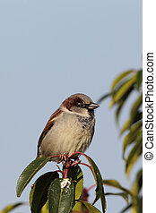 House Sparrow Passer domesticus - Male House Sparrow Passer...