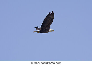 Bald Eagle in flight isolated