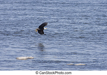 bald eagle looking for food