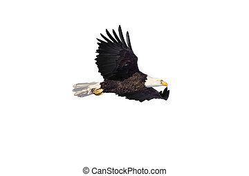 Eagle in flight isolated