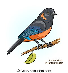 Scarlet bellied mountain tanager bird vector - Scarlet...