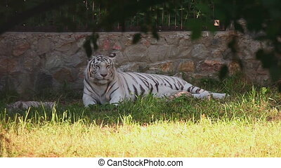 Tigress and her cubs - Gorgeous white tigress with her cubs...