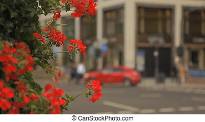 A wonderful bush with red flowers on a European street -...