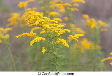 Goldenrod flowers - Goldenrod flower or Solidago Canadensis,...