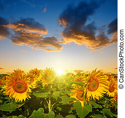 Sunflower field in the sunset Spring landscape