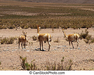 Guanacos - guanacos in salta (argentina)