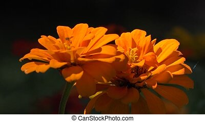 Orange Wild Flowers and Insect