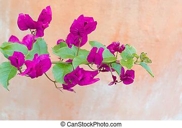 Beautiful bougainvillea flower,Southern Japan