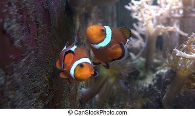 Clown Fish in Aquarium