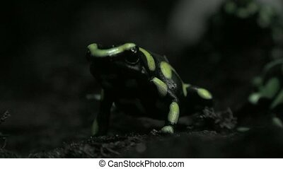 Small Green and Black Frogs or Toads