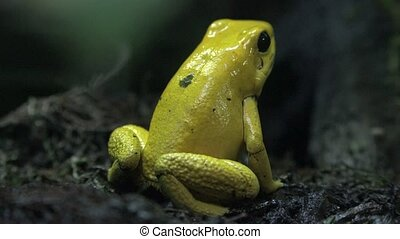 Small Yellow Frog or Toad