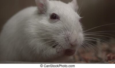 Closeup of White Mouse