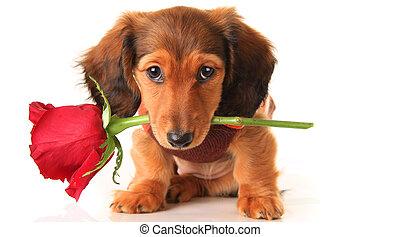 Dachshund Valentine puppy - Longhair dachshund puppy,...