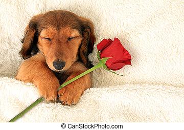 Dachshund Valentine puppy - Longhair dachshund puppy holding...