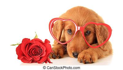 Valentine puppy - Irish Setter puppy wearing Valentine...