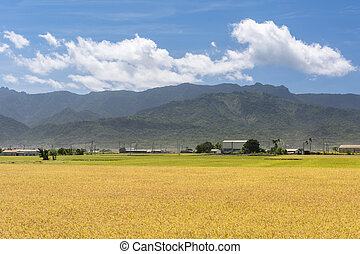 Rural scenery with golden paddy rice farm in Hualien,...