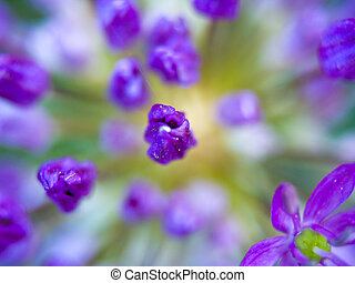 Macro closeups of an Allium Flower in Bloom