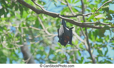 Flying fox resting - Lyle's flying fox (Pteropus lylei)...