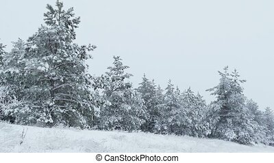 Fir trees in the snow Christmas winter wild forest snowing -...