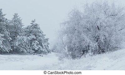 fir trees in snow Christmas wild forest winter snowing - fir...