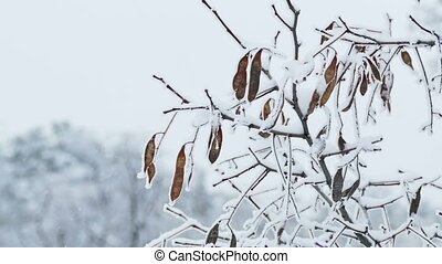 frozen maple tree branch winter nature - frozen maple tree...
