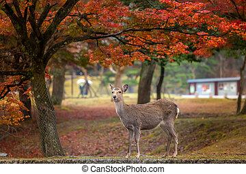 Deer in Nara Park - Wild deer roam free in Nara Park