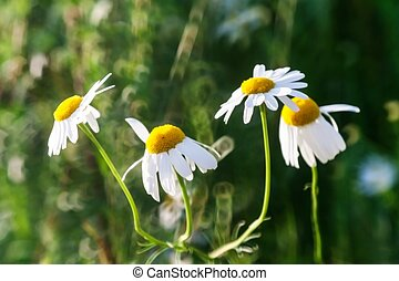 Chamomile flowers close-up