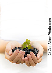 Hands holding blueberries - A child holding blueberries from...