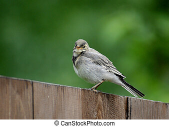 Wagtail - White wagtail (motacilla alba) on wooden fence top