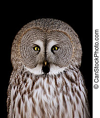 Great Grey Owl - Great grey owl (strix nebulosa) isolated on...