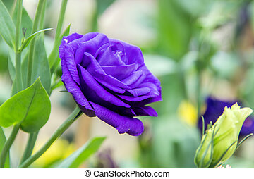 violet purple rose - focus violet purple rose in garden