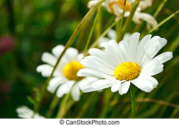 Blomma i sommar, landskap - Blomma i sommar