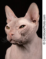 Don Sphinx - Cat of breed the Don Sphynx