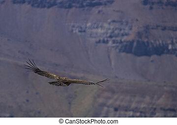 Andean Condor - Young Andean Condor (Condor Vultur gryphus)...