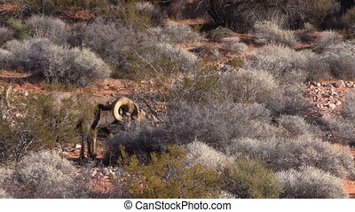 Desert Bighorn Sheep Rams - desert bighorn sheep rams in the...
