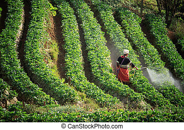 working in strawberry plantation farm - thai dara-ang hill...