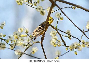 Spring yellowhammer - Yellowhammer (Emberiza citronella) on...