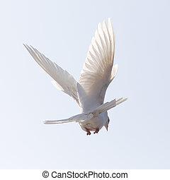 天空, 飛行, 鴿