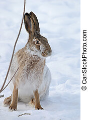 Hare - Brown hare with long ears on snow background