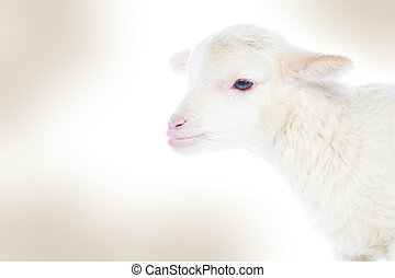 White baby lamb - Closeup of cute lamb on the white...