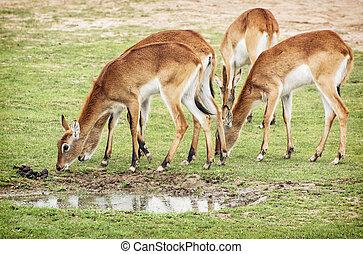 Eld's deer (Panolia eldii), group of animals