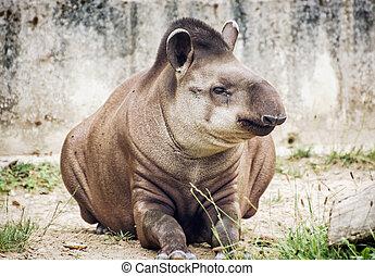 South American tapir Tapirus terrestris, animal scene -...