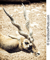 Portrait of Blackbuck (Antilope cervicapra), natural scene -...