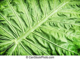 Colocasia esculenta, tropical plant - Colocasia esculenta is...