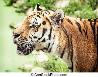 Siberian tiger Panthera tigris altaica portrait, animal...